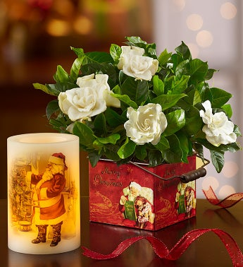 Merry Christmas Gardenia