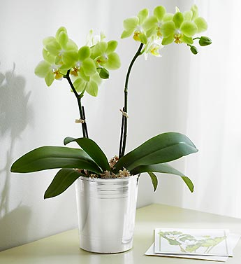 Sunny Days Orchid
