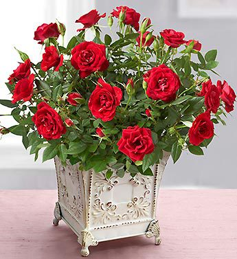 Royal Red Rose for Sympathy