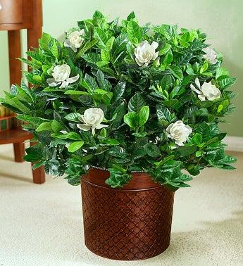 Gardenia Floor Plant for Sympathy