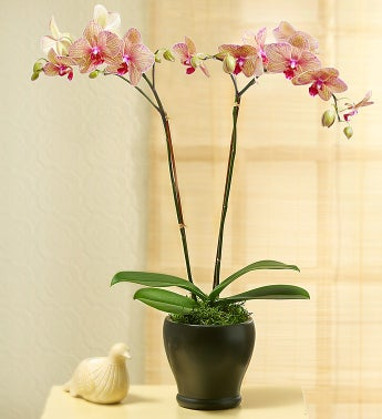 /Kaleidoscope Phalaenopsis Orchid