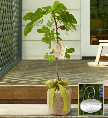 Fig Tree with Personalized Plaque