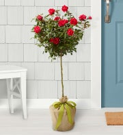 Knockout Rose Tree