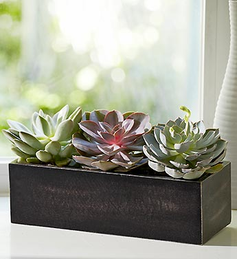 /Window Box Succulent Plant