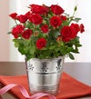 Elegant Red Rose Plant
