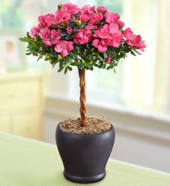 Hot Pink Azalea Topiary