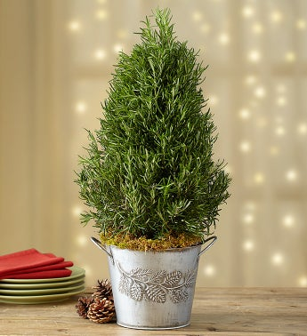 Fragrant Rosemary Tree