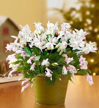 Winter White Cactus