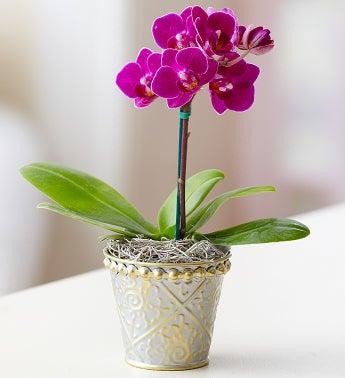 Mini Purple Phalaenopsis Orchid in Tin