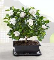 Gardenia Bonsai