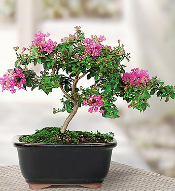 Crepe Myrtle Ficus Bonsai