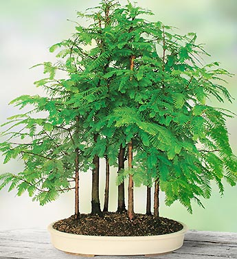 Dawn Redwood Grove Bonsai