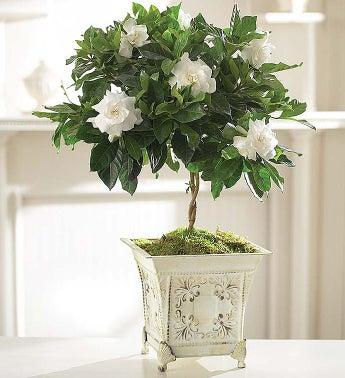 Gardenia Topiary for Sympathy