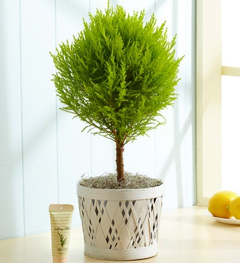 Fresh Lemon Cypress Topiary