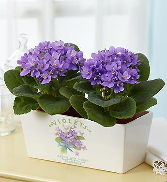 Plum Violet Duet