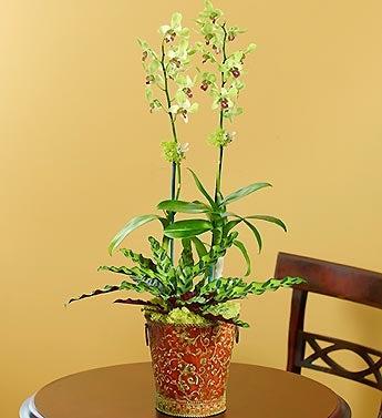 Starlight Dendrobium Orchid