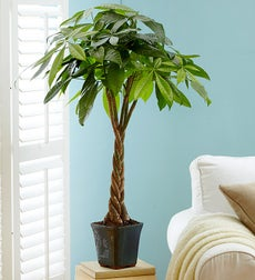 Money Tree Plant in Ceramic Pot