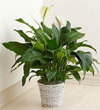 Serene Floor Plant