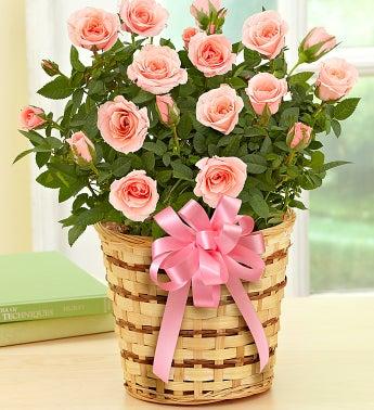 Rose Plant
