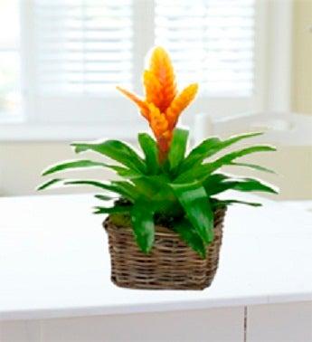 Vibrant Bromeliad